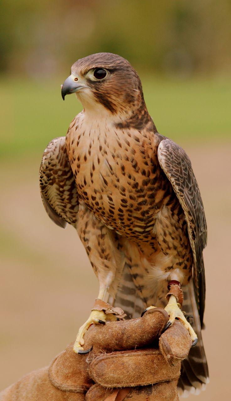 merlin bird of prey | Peregrine/Merlin cross flown by the Exmoor Forest Bird of Prey Centre ...