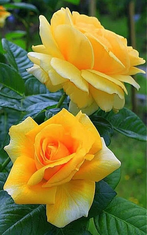 Beautiful Flowers Plus To The Natural Beauty Beautiful Rose Flowers Beautiful Flowers Yellow Roses