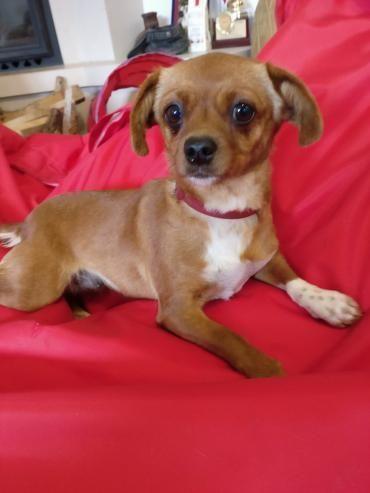 Hund, Chihuahua (Mischling, Hündin, 2 Jahre) Rumänien - Kleine Lady sucht Zuhause
