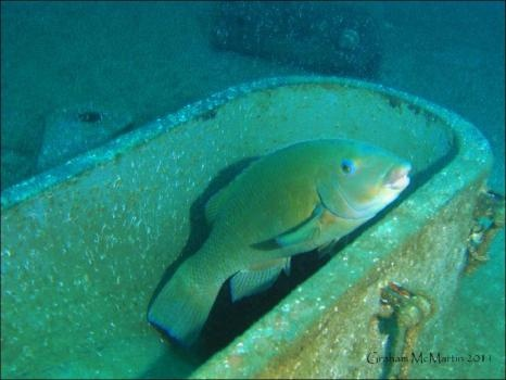 Life on the HMAS Adelaide wreck - Photos - The Manly Daily