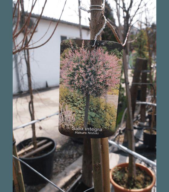 Розова Японска върба на присадка Salix Hakuro - nishiki