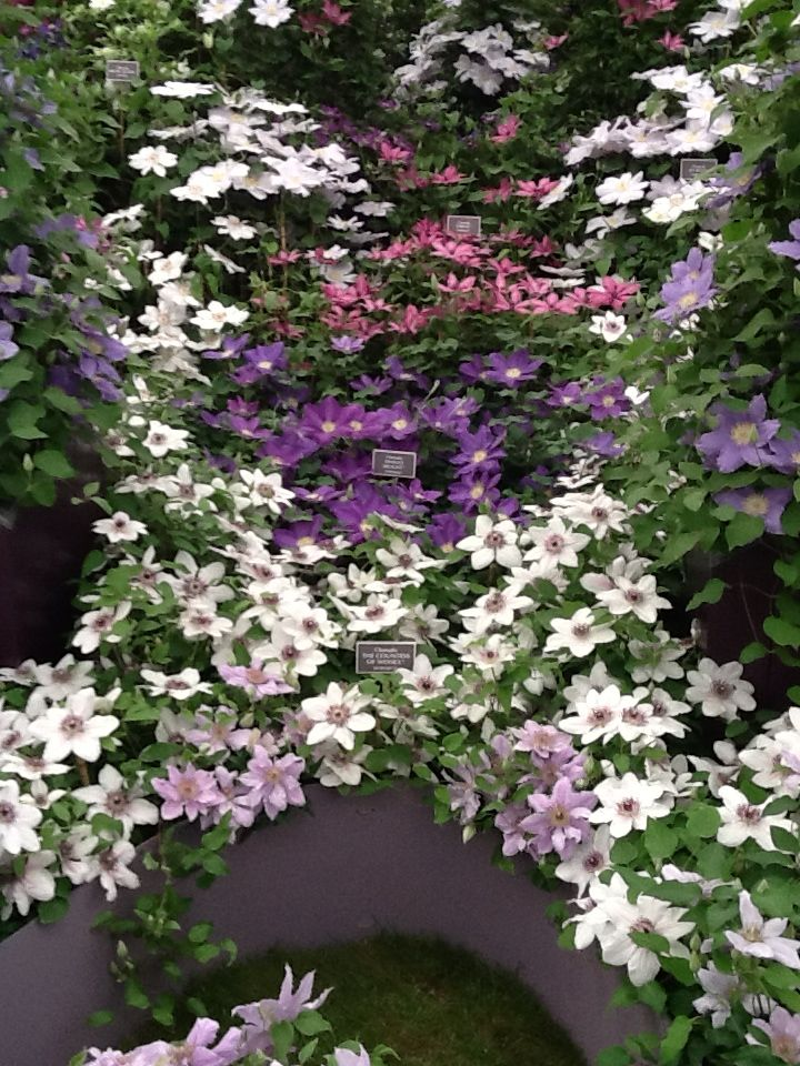 17 best images about clematis on pinterest gardens - Chelsea flower show gold medals ...