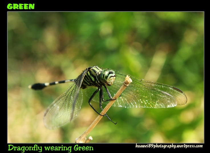 I've never been drawn towards photographing insects but I do like this dragonfly in green.