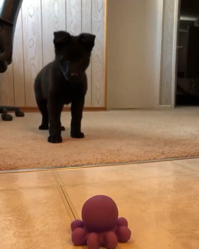 German Shepherd puppy vs sea monster