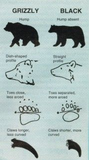 Grizzly vs Black Bear identification guide.  www.gunbid.co.uk