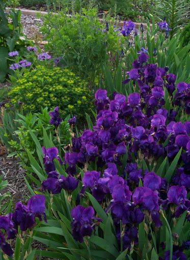 Purple Iris - Drought tolerant. Blooms in spring; green strappy leaves look decent through fall. Will die back in winter without any need to prune. Spreads by clumping. Can be lifted and divided every 5 years or so. ❤️