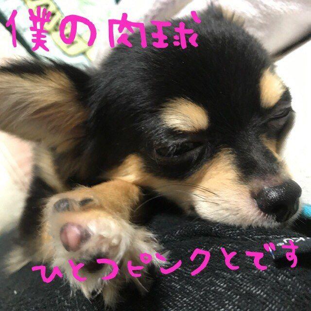 母ちゃんです。黒爪はやっぱりトラウマで切れません…毛は眉毛カッターで刈れますが爪…やはり明日病院で切って貰お… #dog#犬#愛犬#チワワ#チワワ部#チワワバカ#ロンチー#ロングコートチワワ#仔犬#パピ#puppy#ブラックタン#ブラタン#ブラックアンドタン#耳デカ犬#ビッグチワワ#chihuahua#小型犬#わんすたぐらむ#福岡チワワ#ワンコなしでは生きていけません会#福岡チワワ部#作りたいなぁ