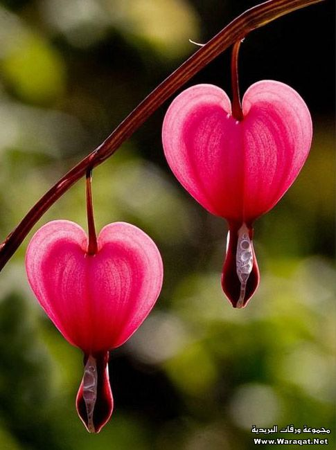 I have tried a few years in a row...and have never successfully bloomed bleeding hearts.