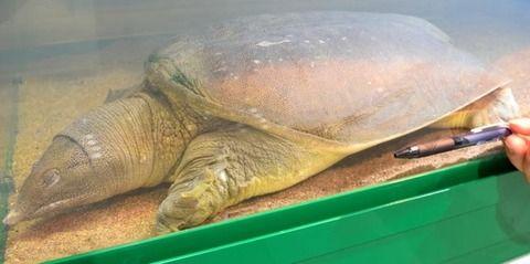 島根県立宍道湖自然館ゴビウスで、 甲羅の長さ39.3cm 体重6,7kgの スッポンを 「日本最大級」として 入り口にある120cmの水槽で 一般公開しています