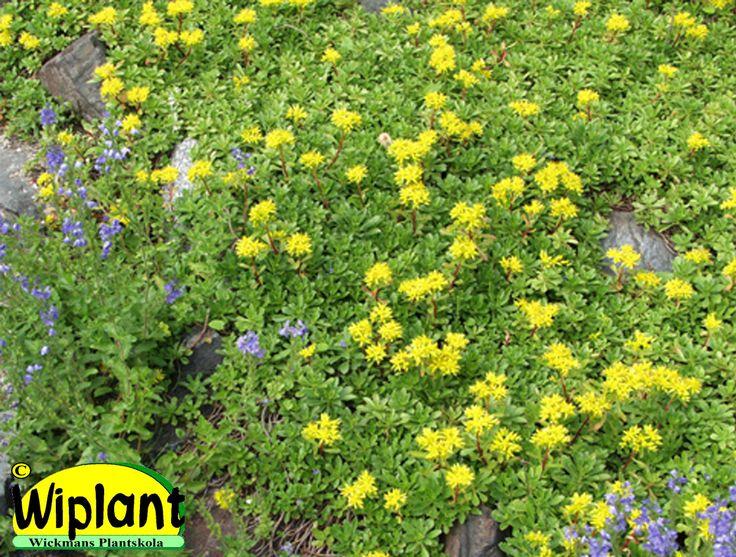 Sedum hybridum, sibiriskt fetblad. Vintergrön. Tål torka. Gula blommor i juli.