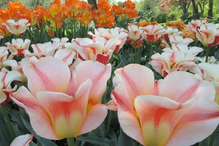 Tulipa 'Professor de Monserri' (tulips) in the Annual Border. Photo: Sarah Schmidt, 04/23/2015