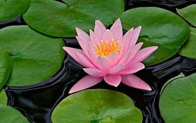 Poceta de lotos