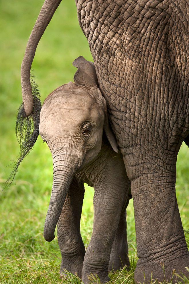 ~~African Elephant Calf by catman-suha~~