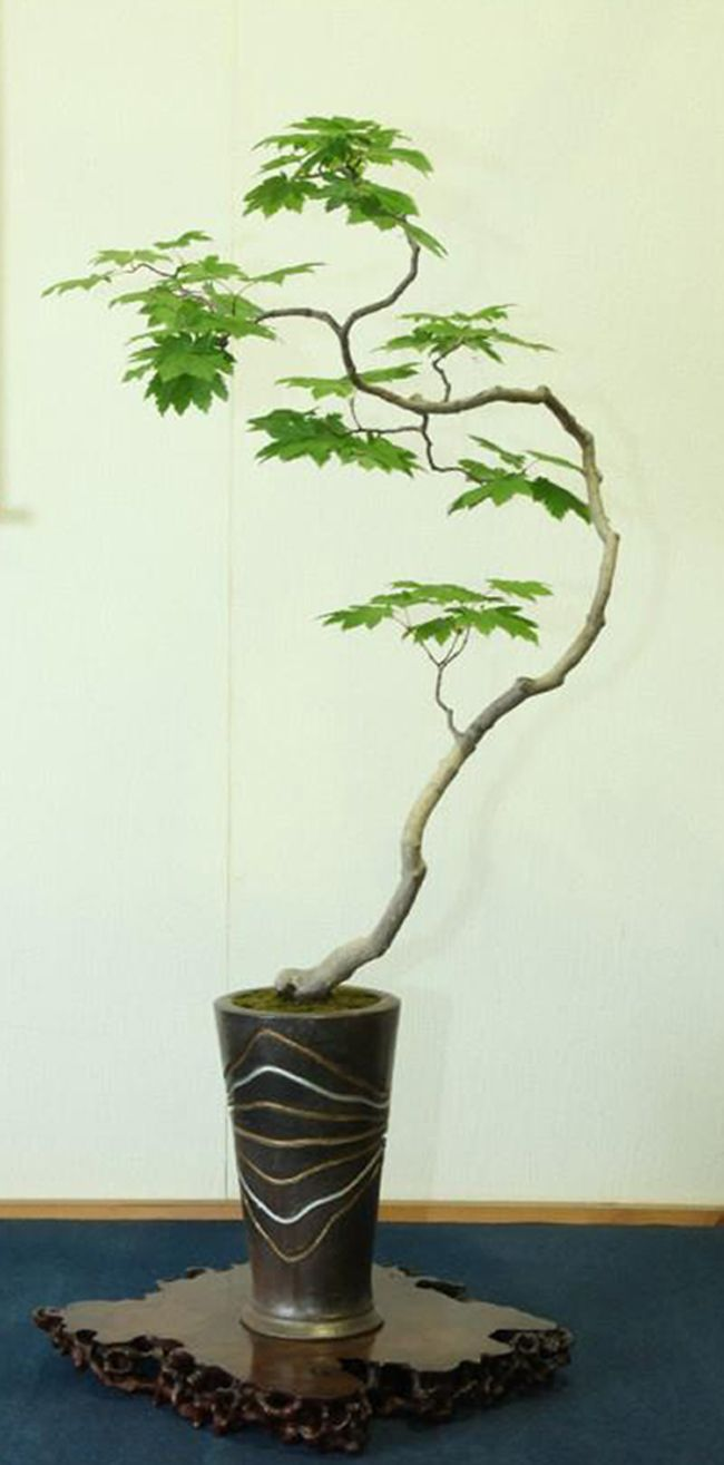108 besten bonsai for beginners bilder auf pinterest for Bonsai hydrokultur