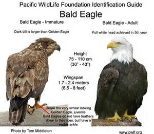 478 Best Eagles Falcons Hawks Ospreys Images On Pinterest Birds Of Prey Beautiful Birds And Animals