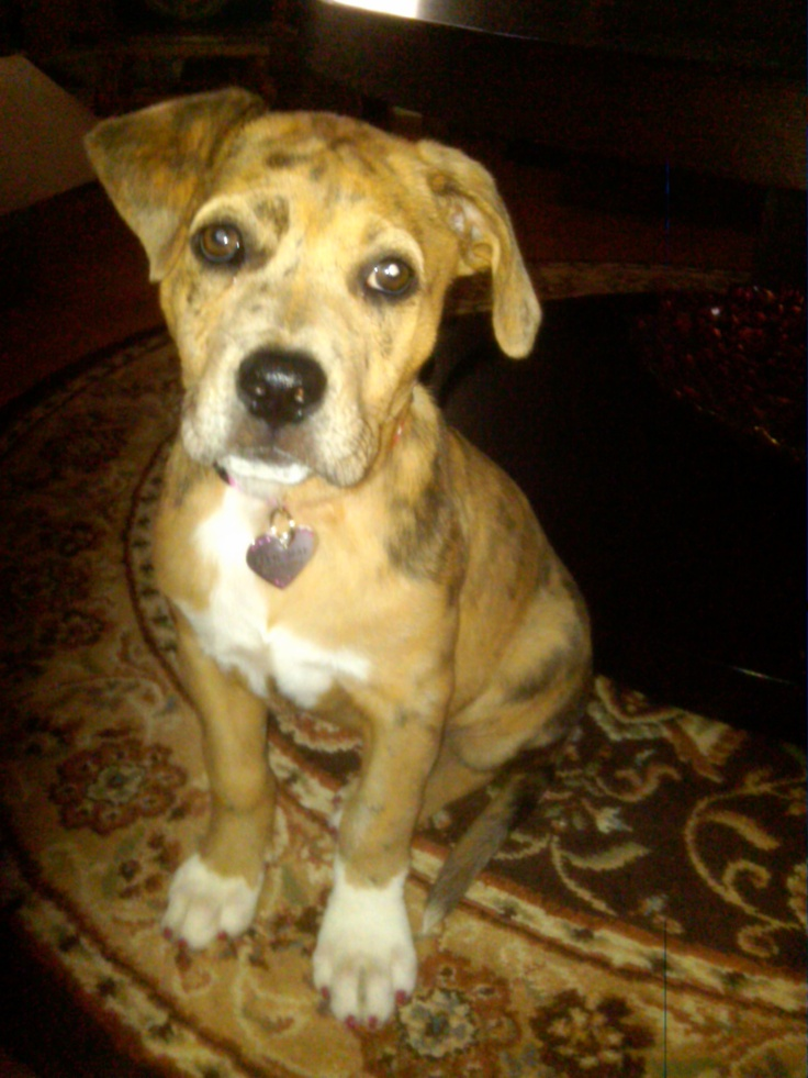 "My Louisiana Catahoula spotted Leopard hound dog ""Ellie Mae"" as a ..."