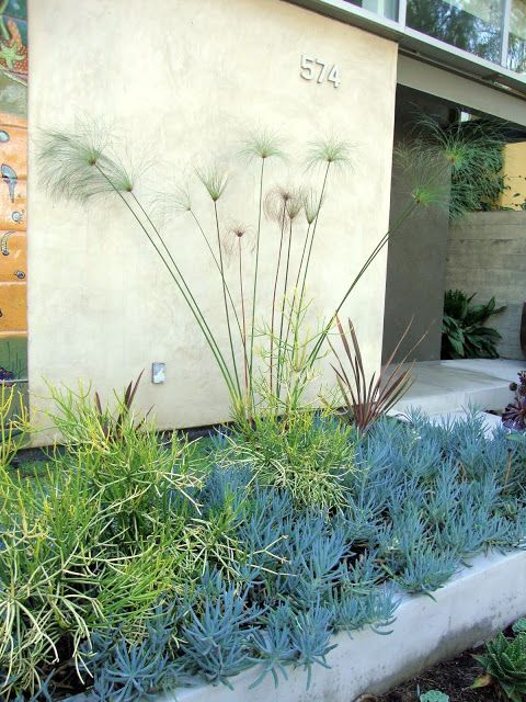 Blue chalk sticks (Senecio mandraliscae) for fall cuttings, via @Loree Bohl: Gardens Therapy, California Native, Favorite Plants, Backyard Projects, California Plants, Senecio Mandralisca, Gardens Design, Native Gardens, Danger Gardens