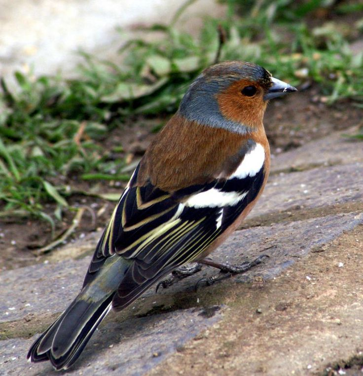 Chaffinch (fringilla coelebs) by Dave Hamster @ Flickr CC. - Pixdaus