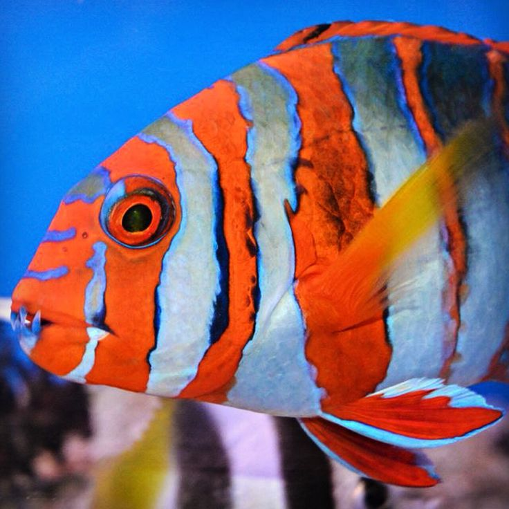141 best wrasses images on pinterest pisces tropical for Fish safe paint