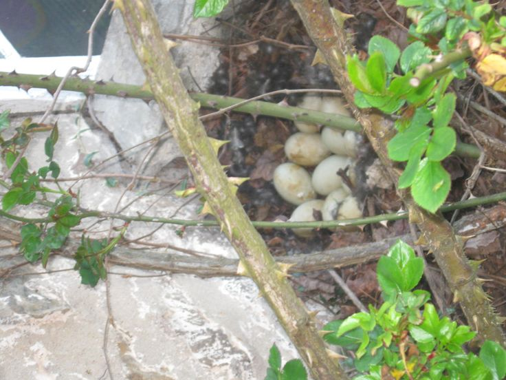 12 Duck Eggs are A-Blooming under the Rose Bush!
