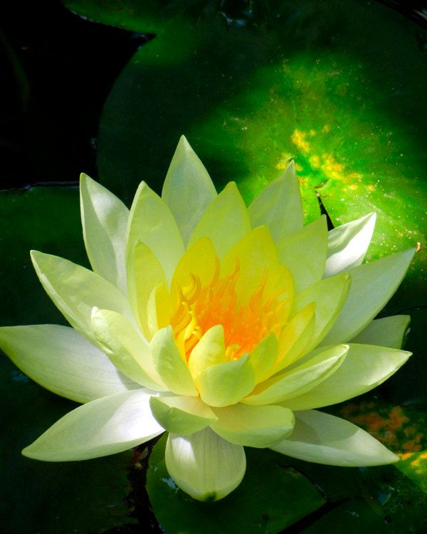 Golden Yellow Lotus Flower in Pond - Nature Photography - Water Lily - Fine Art Photo Zen Spiritual Meditation - Flower Photography