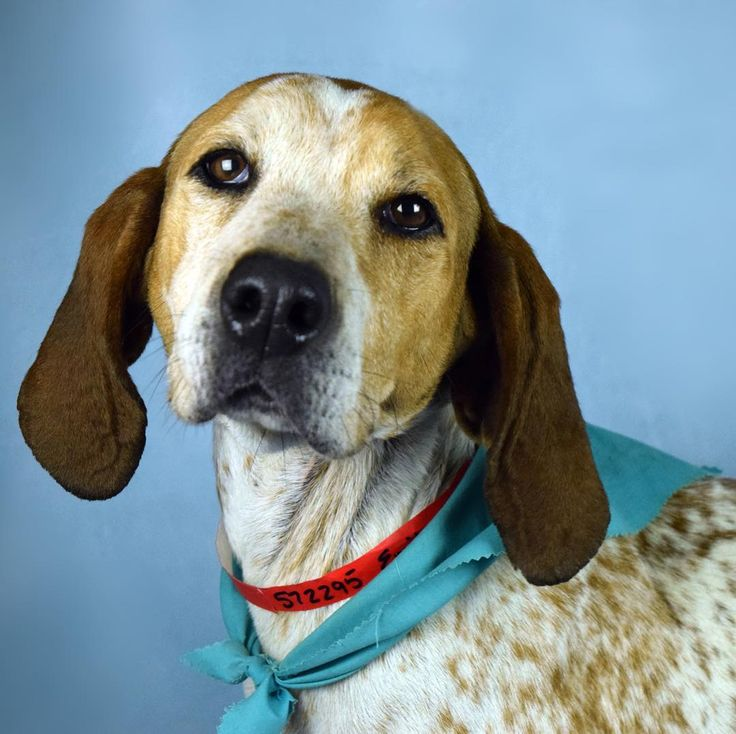 Six year young Emily (ID 572295) is a 53 pound Redtick hound  mix who likes people of all ages is potty-trained and is super sweet.  Emily loves to be pet and wouldnt mind cuddling on the couch with you.  This beauty walks well on a leash but she would benefit from some basic training classes that the Humane Society of Broward County offers. . . . . #dog #dogs #dogsofinsta #dogsofinstagram #cute #cutie #funny #love #rescue #adopt #adoptdontshop #humanesociety #hsbroward #florida #broward…