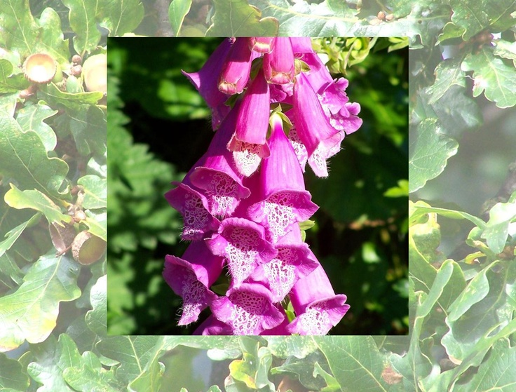 Calendar pix - June 2013 Everybody loves the foxglove spires that appear in unexpected corners.