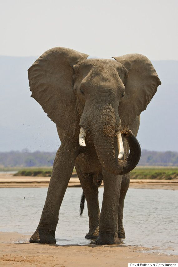 Game Hunter Ian Gibson Trampled To Death By Elephant