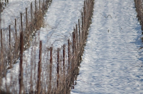 #Vineyards in the snow