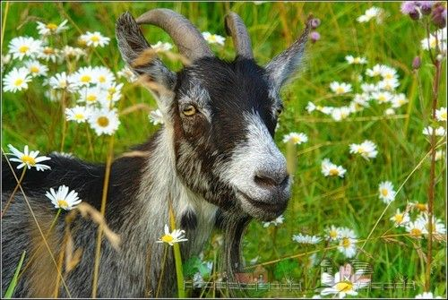 Сколько литров молока коза дает в день: обзор и фото