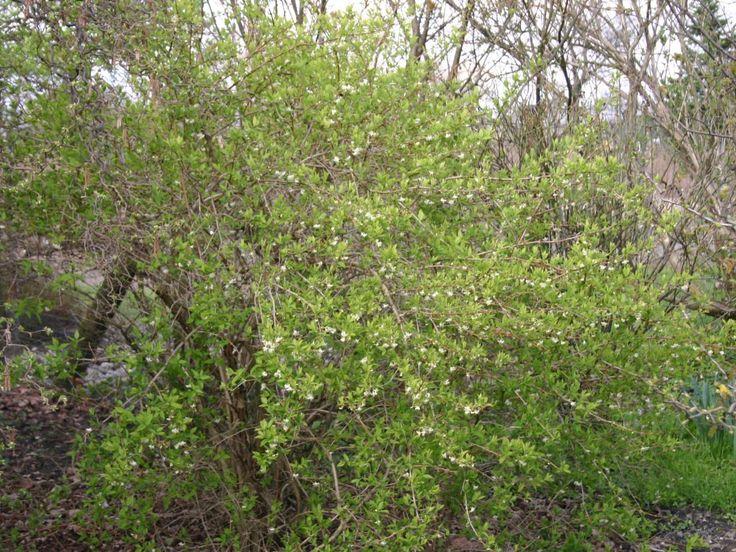 Winter-Heckenkirsche / Duft-Heckenkirsche - Lonicera purpusii