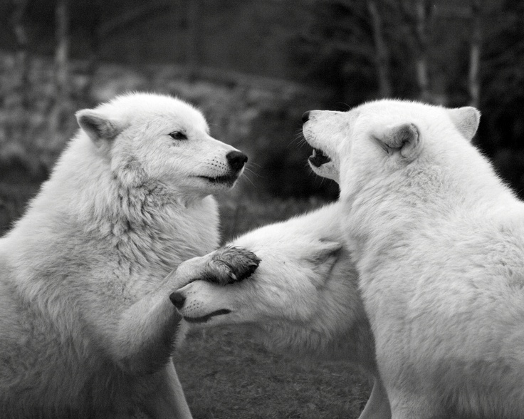 packMoonmoon,  Polar Bears, Animal Photography, Funny Pictures, Inspiration Pictures,  Thalarcto Maritimus, Wolves, Little Monsters, Moon Moon