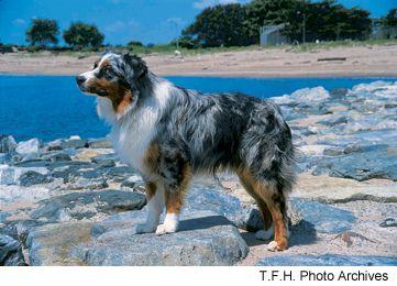 Australian Shepherd #austrailianshepherd #dog