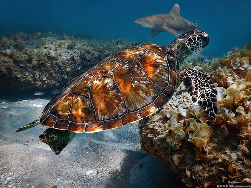 Turtle and Shark swimming at Ocean Reef Park on Singer Island Florida
