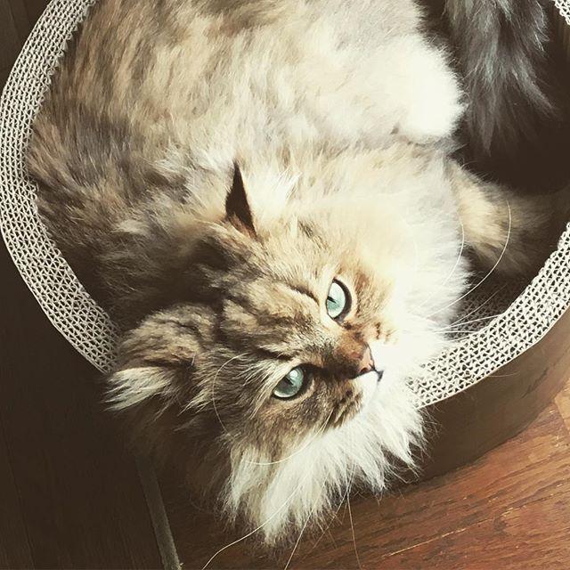 #今日のらむねさん  #猫 #ねこ #cat #kitty  #nekostagram #nyanstagram #catsofinstagram #ペルシャ #チンチラ #ゴールド #ねこ部 #猫部 #愛猫 #オス #猫好きさんと繋がりたい  #お気に入り #ベッド #爪とぎベッド . 昨日の#晩ごはん #ごはん (私は抜き) #サラダ (キャベツレタスきゅうり) #おろしハンバーグ  #ほうれん草のソテー (しめじハム入り) #わかめの酢の物 (しらすきゅうり入り) #オクラ (焼いて塩コショウ) トマトもなくて彩り悪し。笑 #晩ごはん日記  #野菜多め #写真はない
