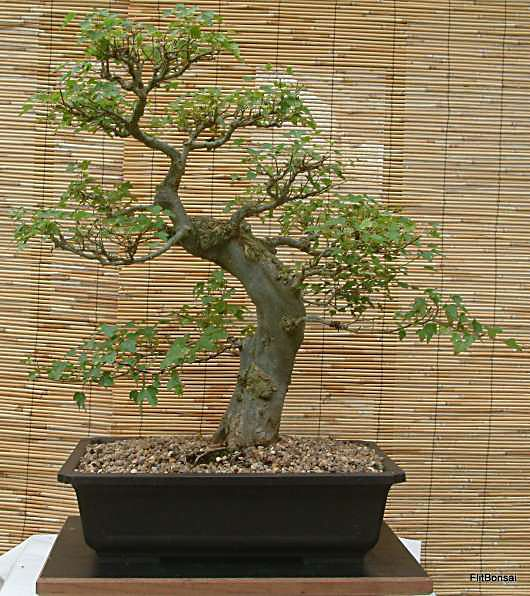 Trident maple bonsai bonsai growing and the care of for Maple trees for sale