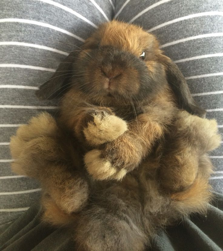Our little 3 month old Holland Lop bunny