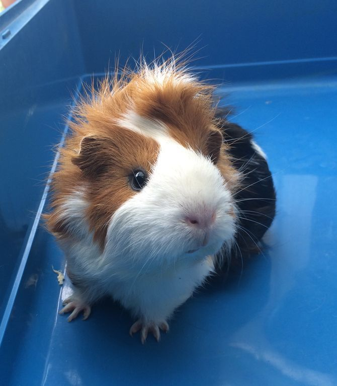Best Guinea Pig Food Ideas On Pinterest Food For Guinea Pigs - Ludwig the bald guinea pig is winning the internets hearts