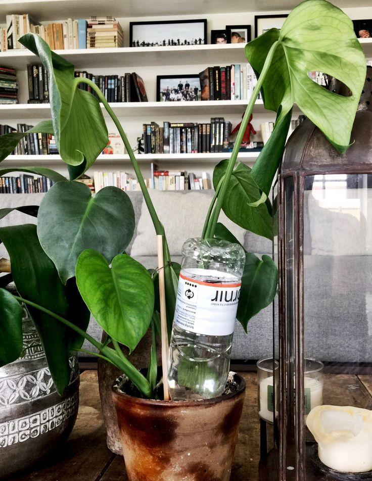 Jeg har mange grønne planter, og selvom jeg som regel er så heldig at Frk. T er hjemme når jeg rejser, så er det nu meget rart at have dette gamle trick i ærmet:Fyld en flaske med vand, og stik åb…