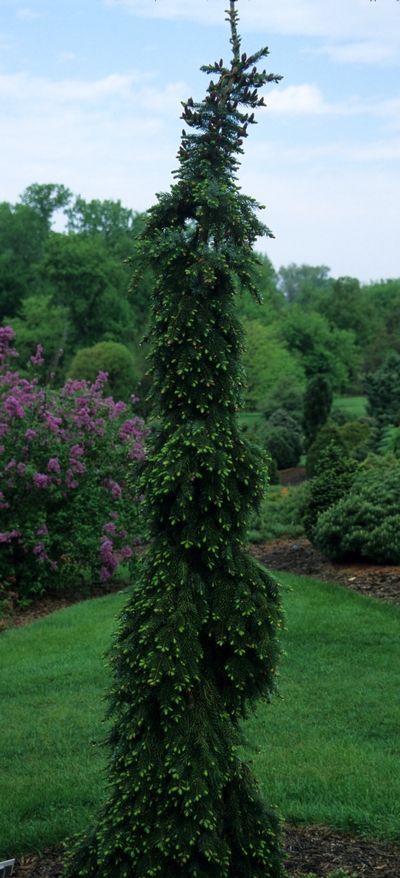 weeping serbian spruce 7-8' tall 2-3' wide bicolored needles stake while young