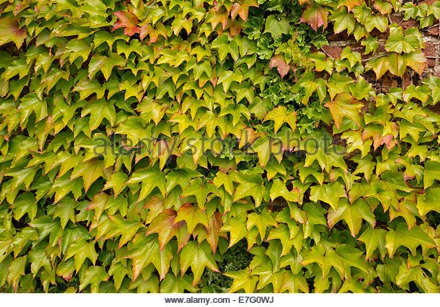 Boston ivy -  Parthenocissus tricuspidata - colourful red and green leaves growing on and covering brick wall of - Stock Image
