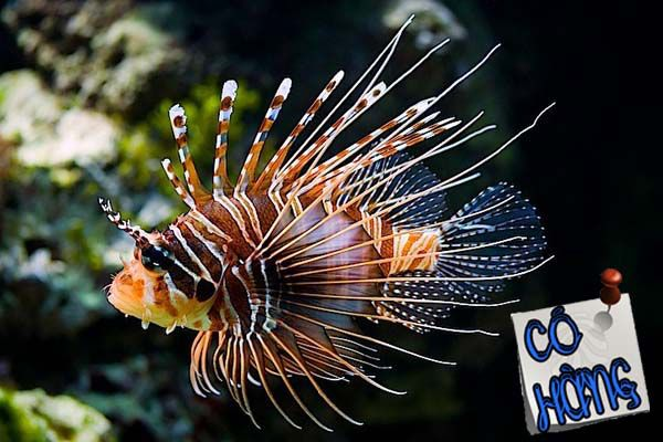 Hình ảnh từ http://saltwateraquarium.com.vn/admin/upload/Mao%20ti%C3%AAn%20canh%20chi%20(%20Co%20hang).jpg.