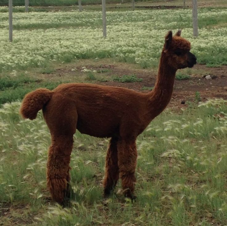 Meet Al, the Alpaca, who supervised the installation of the Amramp barrier free access for the Sunshine Hills Alpaca Ranch and the Twisted Sisters Alpaca Mill store in Rollyview, Alberta.