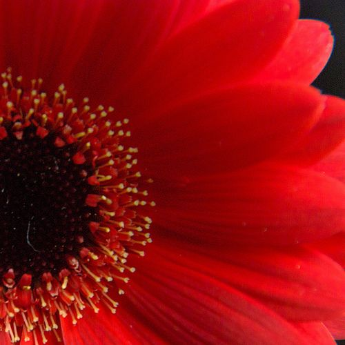 red.quenalbertini: Gerbera | by Greg B Photography