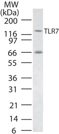 TLR 7 Western Blot image in RAW cell line.