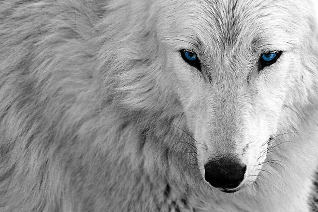 An Edit White Wolf Blue Desktop Wallpaper Background Wolf With Blue Eyes White Wolf Black Jaguar