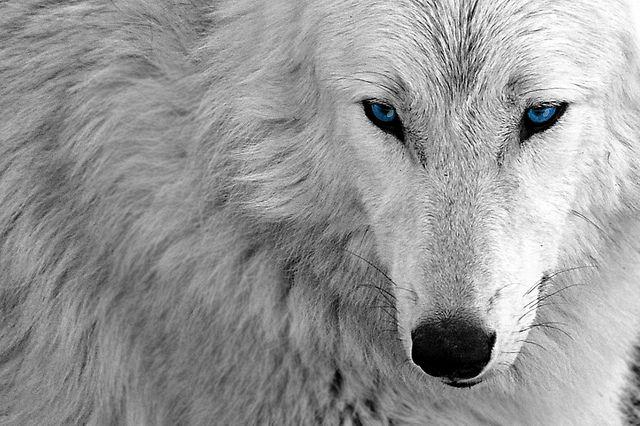 beautiful blue white wolf - photo #23
