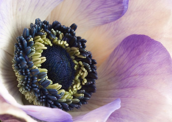 Light Purple Anemone by Ada Zyborowicz #flowers