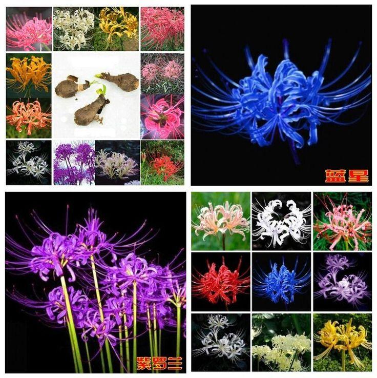 Spider Lily Flower, Lycoris Radiata 25 Bulbs - Blue, Purple, Yellow, White, Red | eBay!