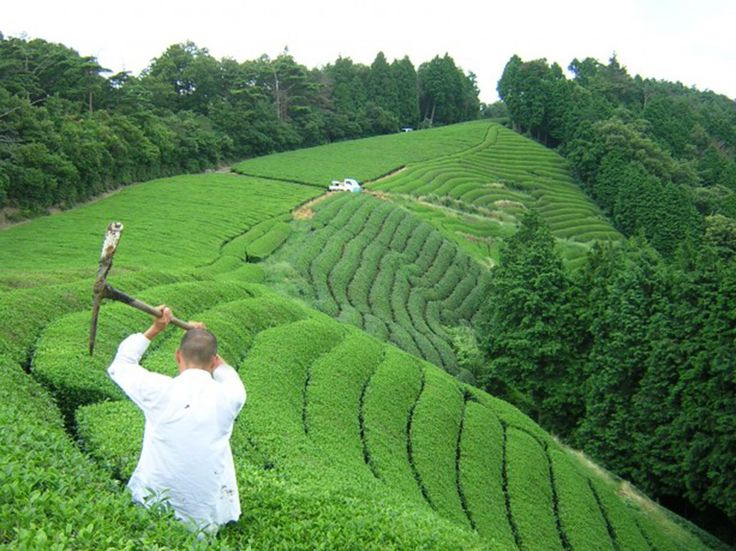 Kurihara Tea Plantation, Japan